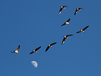 Geese in flight photo